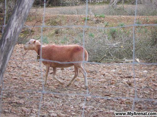 Mallorca Urlaubsbild - Schaf